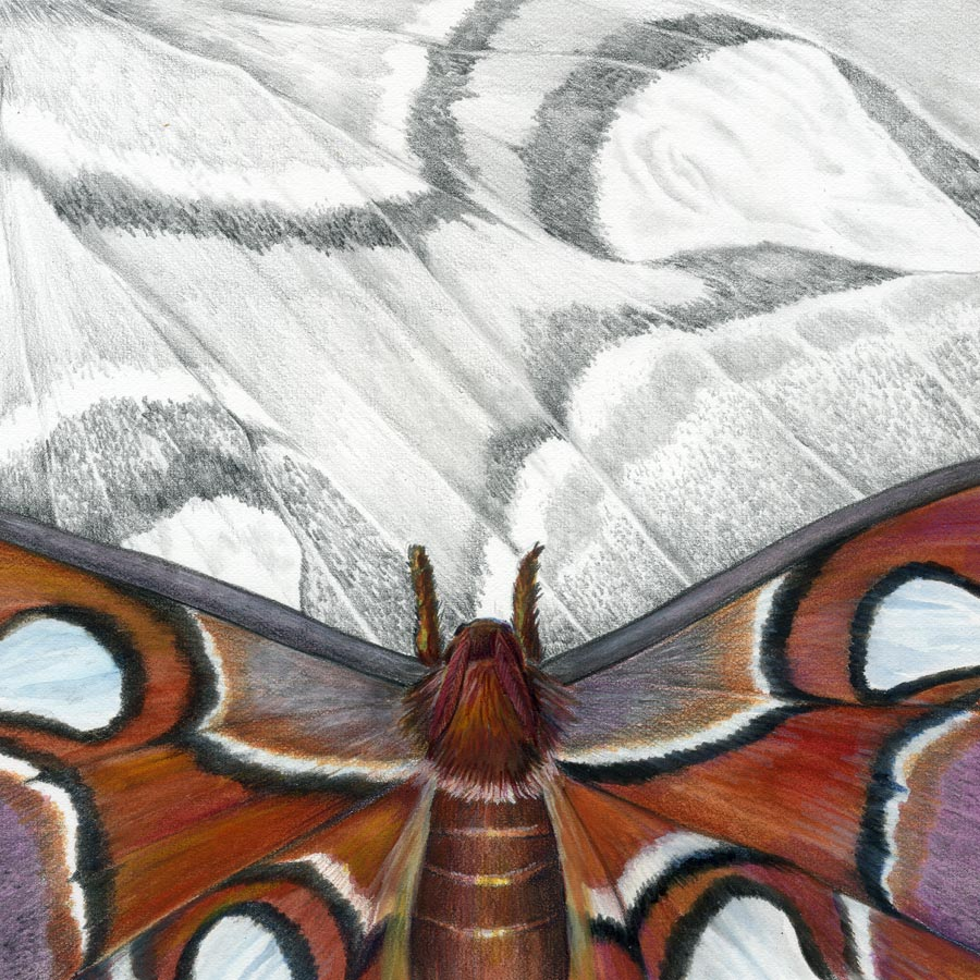 The Atlas Moth