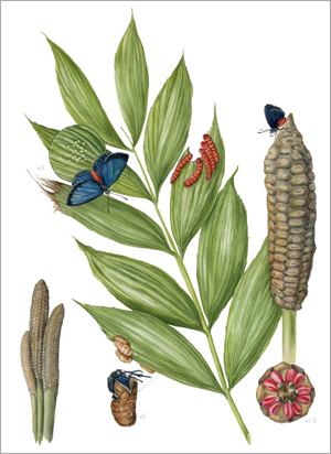 Atala Butterfly & Coontie