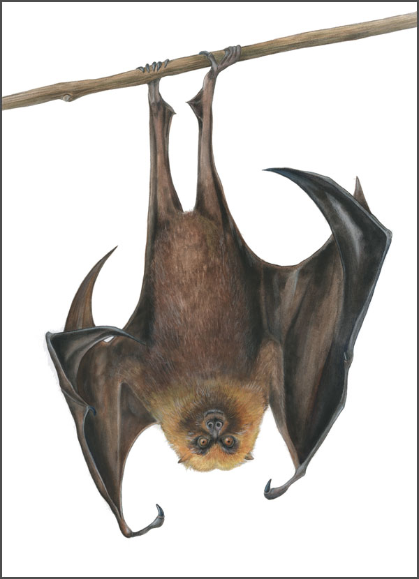 Rodrigues Fruit Bat