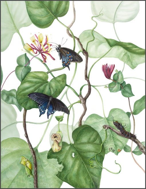 Pipevine Swallowtail Lifecycle
