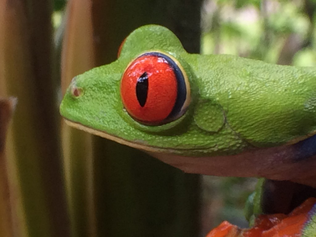 This photo was taken by instructor Mindy Lighthipe with her iPhone during the Frog shoot at Selva Verde Lodge.