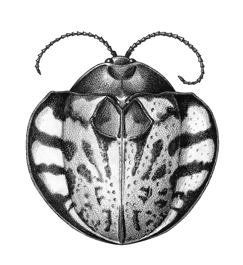 Stipple Beetle- ©2015 Mlighthipe