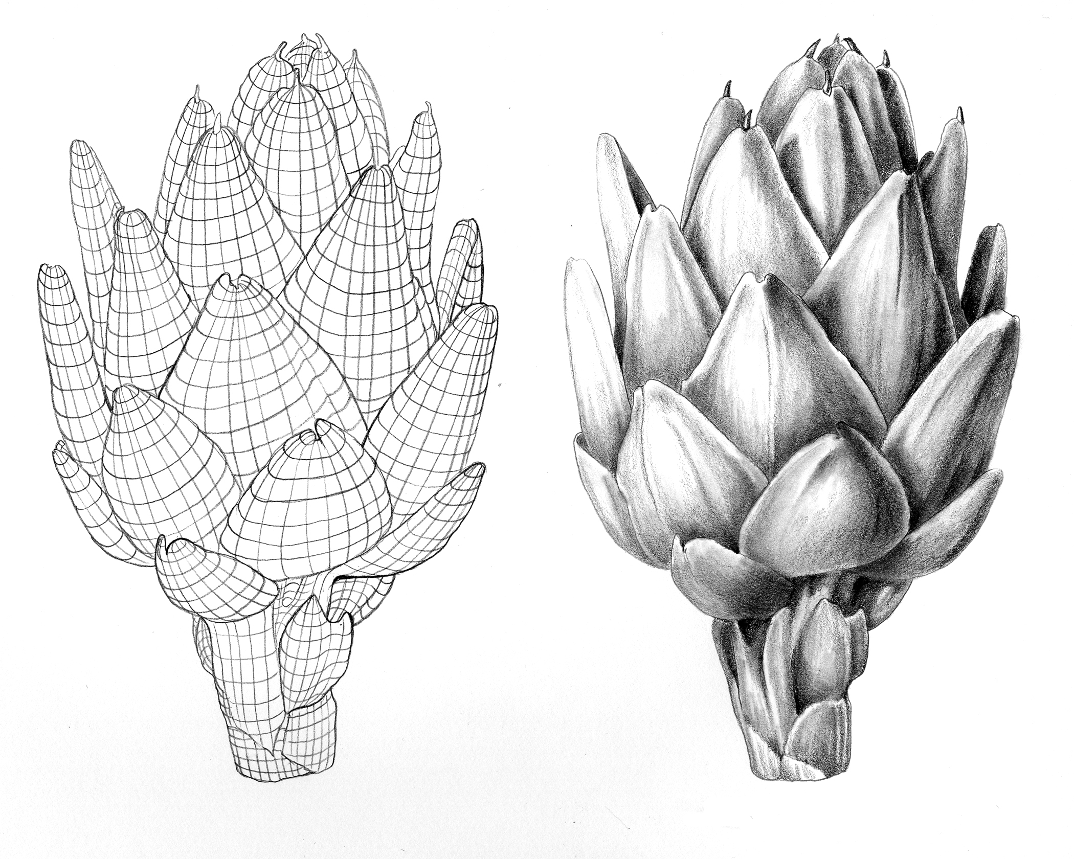 surface contour for botanical artists | the art of mindy lighthipe