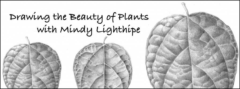 Drawing Plants - The Art of Mindy Lighthipe